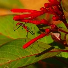Assassin Bug and Ant