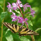 Unbroken Swallowtail