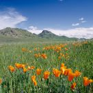 Sutter Butte Poppies