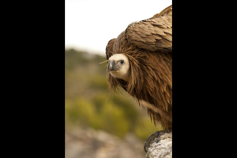 Young Griffon Vulture
