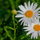 daisies in pairs
