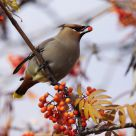 Cedar Waxwing Feeding