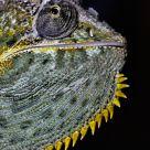 Chameleon Chin