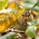 Very fat mouse :)     Очень толстая