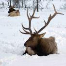 Sleeping Elk