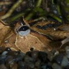 Ornate Horned Frog