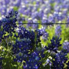Texas Bluebonnets And Barbed Wire