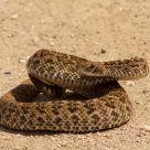 Texas Coastal Rattlesnake