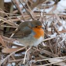 its cold for the robin