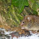 Bank Vole or Myodes glareolus
