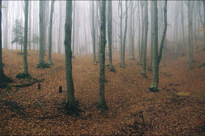 The Forest in the fog