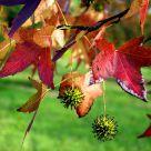 Maple's leaves