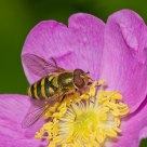 American Hoverfly