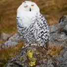 Snowy Owl wink