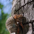 Hermit Crab climbing a Coconut Tree