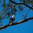 Bald Eagle of Bennett's Point