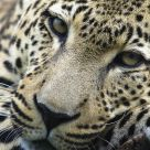 In the focus of a leopard