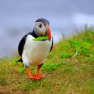 Puffin at Work