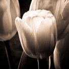 Tulip b&w