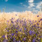 Wild flowers  in  wheat  field