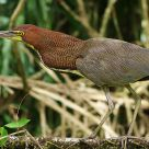 Rufescent Green Heron