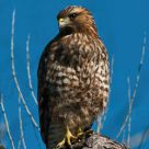 Yound Red-Tailed Hawk