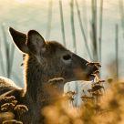 Deer #1