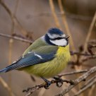 Blue Tit.