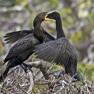 Cormorant Feeding 1