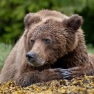 Focused Grizzly Bear