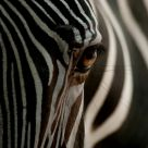 The eye of the Zebre