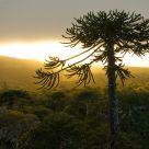 Araucaria at dusk