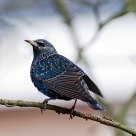 starling, part II