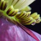 Hellebora flower