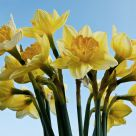 Daffodi
