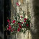 Flowers from the wall