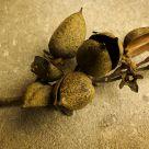 Pawlonia Seedpods