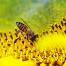 a hardworking bee on a sunflower