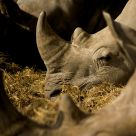 Resting Rhinos