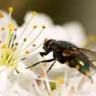 Hover fly on spring blossom