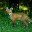 Fox #4