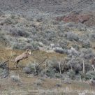 jumping bighorn sheep