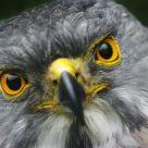 Falcon's Portraiture