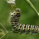 Caterpillar Old World Swallowtail