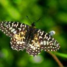 Borboleta (Butterfly) Zerynthia rumina