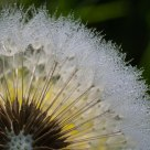 Dandelion in the morning dew