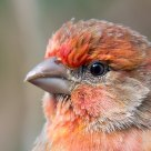 House Finch Portrait