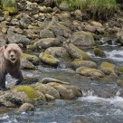 Female Grizzly Crossing Stream