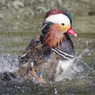 Mandarin Duck