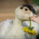 Duckling With Dandelion